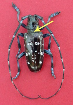 Asian Longhorned Beetle | Minnesota Department of Agriculture
