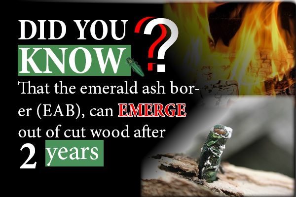 EAB can emerge out of cut wood after two years