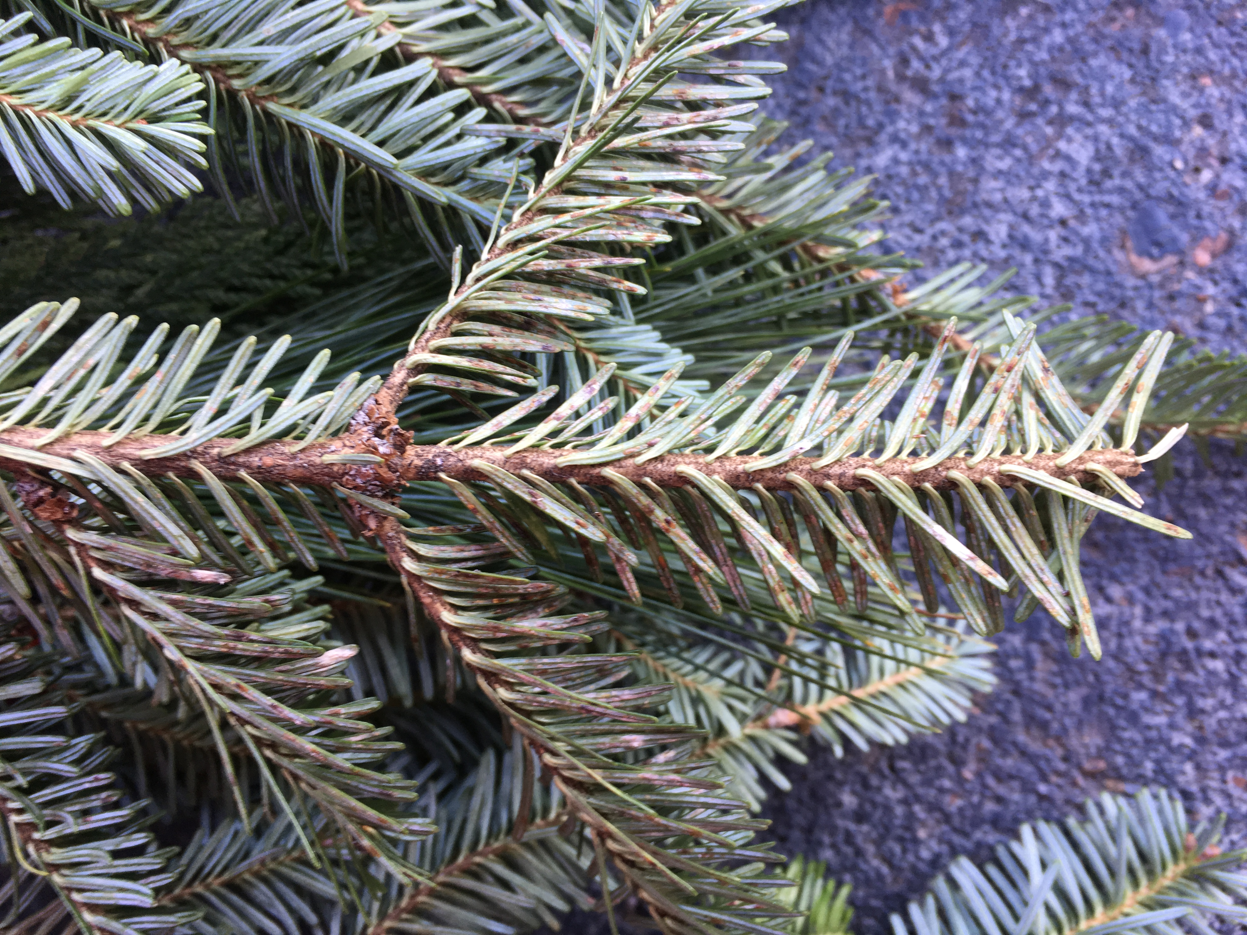 Elongate hemlock scale on the underside of holiday greenery