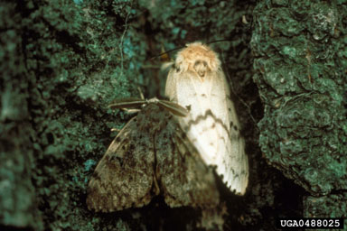 Male (brown) and Female (white) gypsy moths