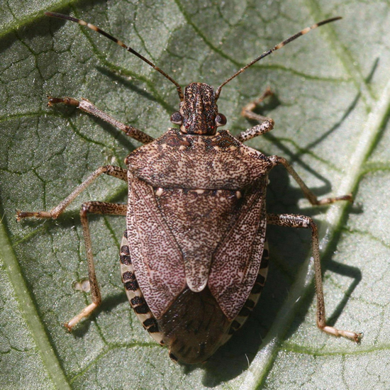 Brown marmorated stink bug adult. Photo by Witney Cranshaw, Colorado State University, forestryimages.org.