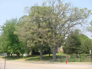 defoliated oak tree
