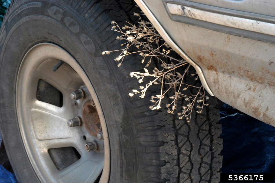 Diffuse knapweed stuck in a car wheel