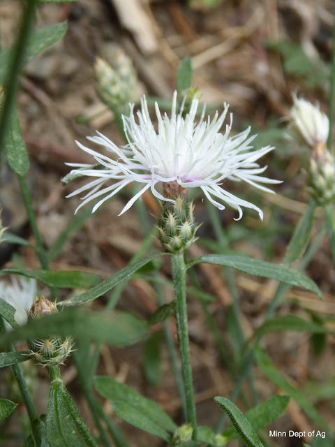 Diffuse knapweed flower