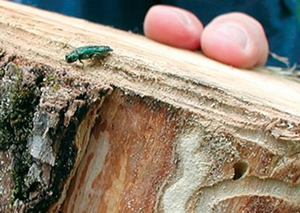 EAB emerging from a piece of firewood