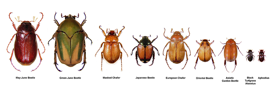 European chafer beetle grubs. Image by Mike Reding & Betsy Anderson, USDA Agricultural Research Service, bugwood.org