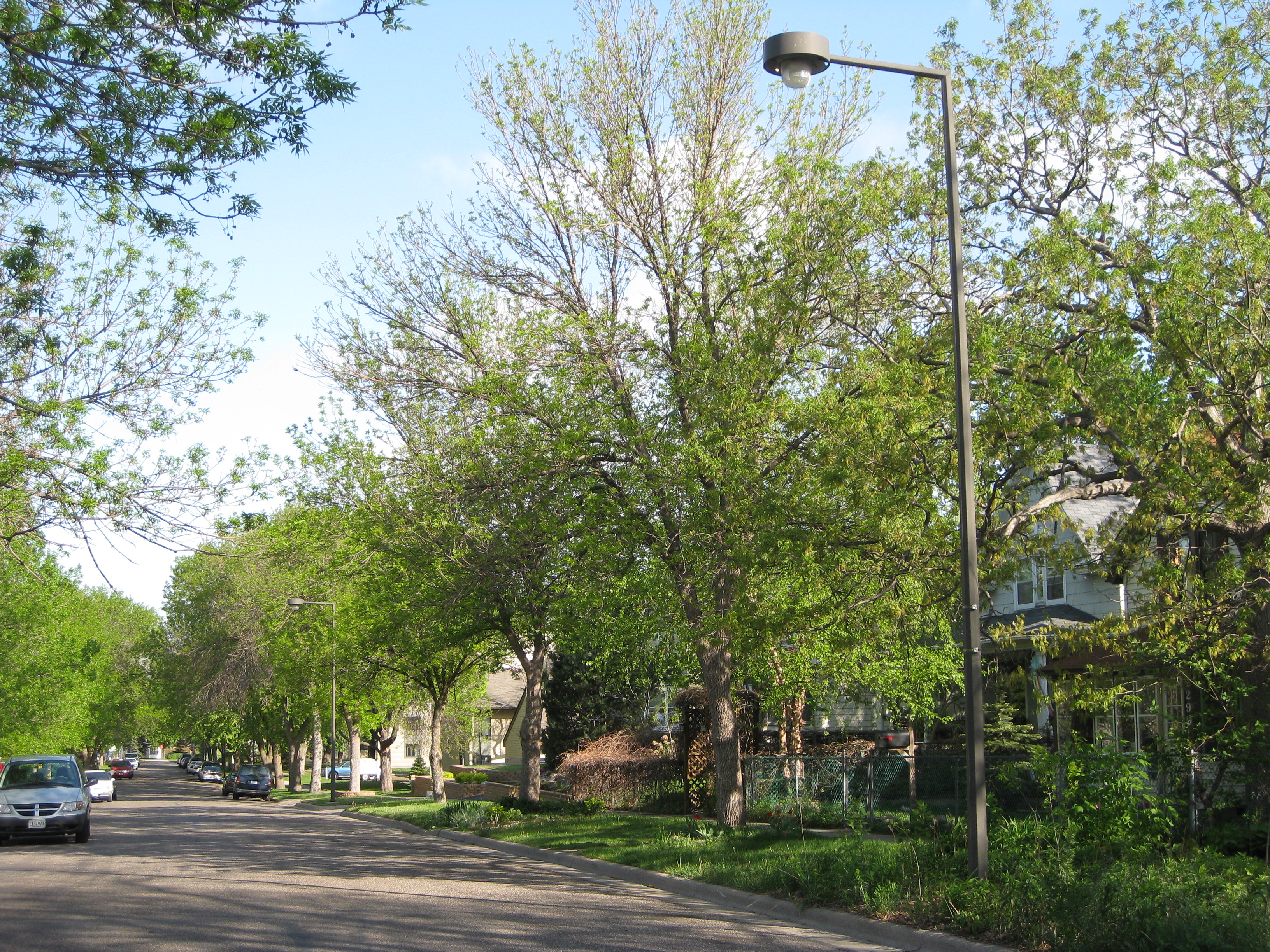 St. Paul street lined with infested ash trees
