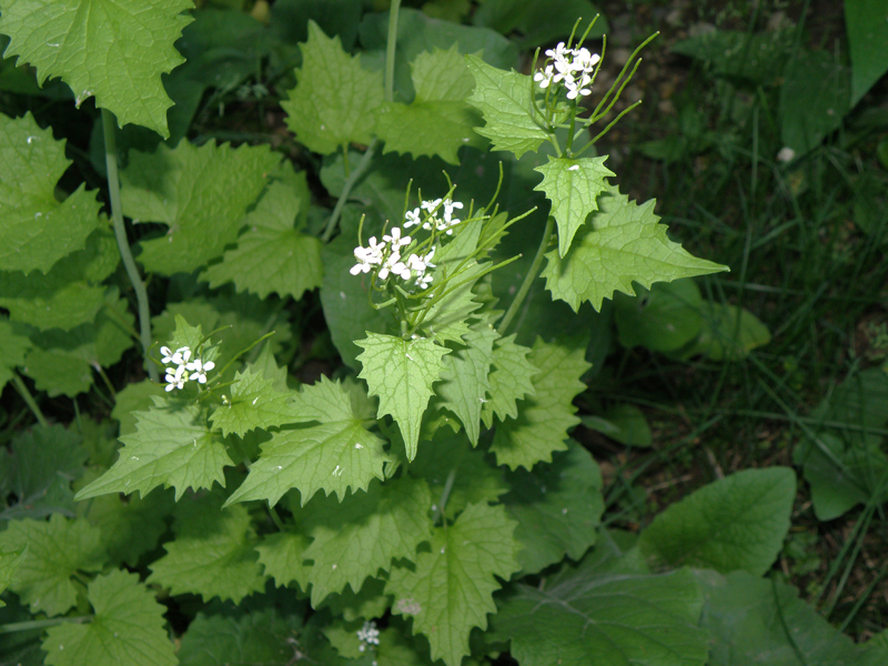 Garlic mustard flowers and leaves