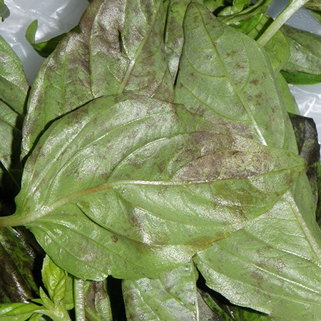 basil leaves with downy mildew