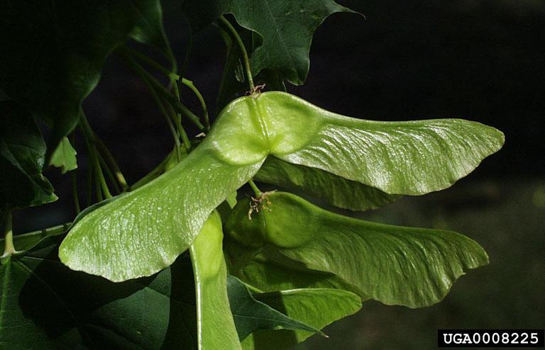 Beeld van de dubbele samaravrucht van de Noorse esdoorn en de stompe hoek ervan.'s double samara fruit and it's obtuse angle.