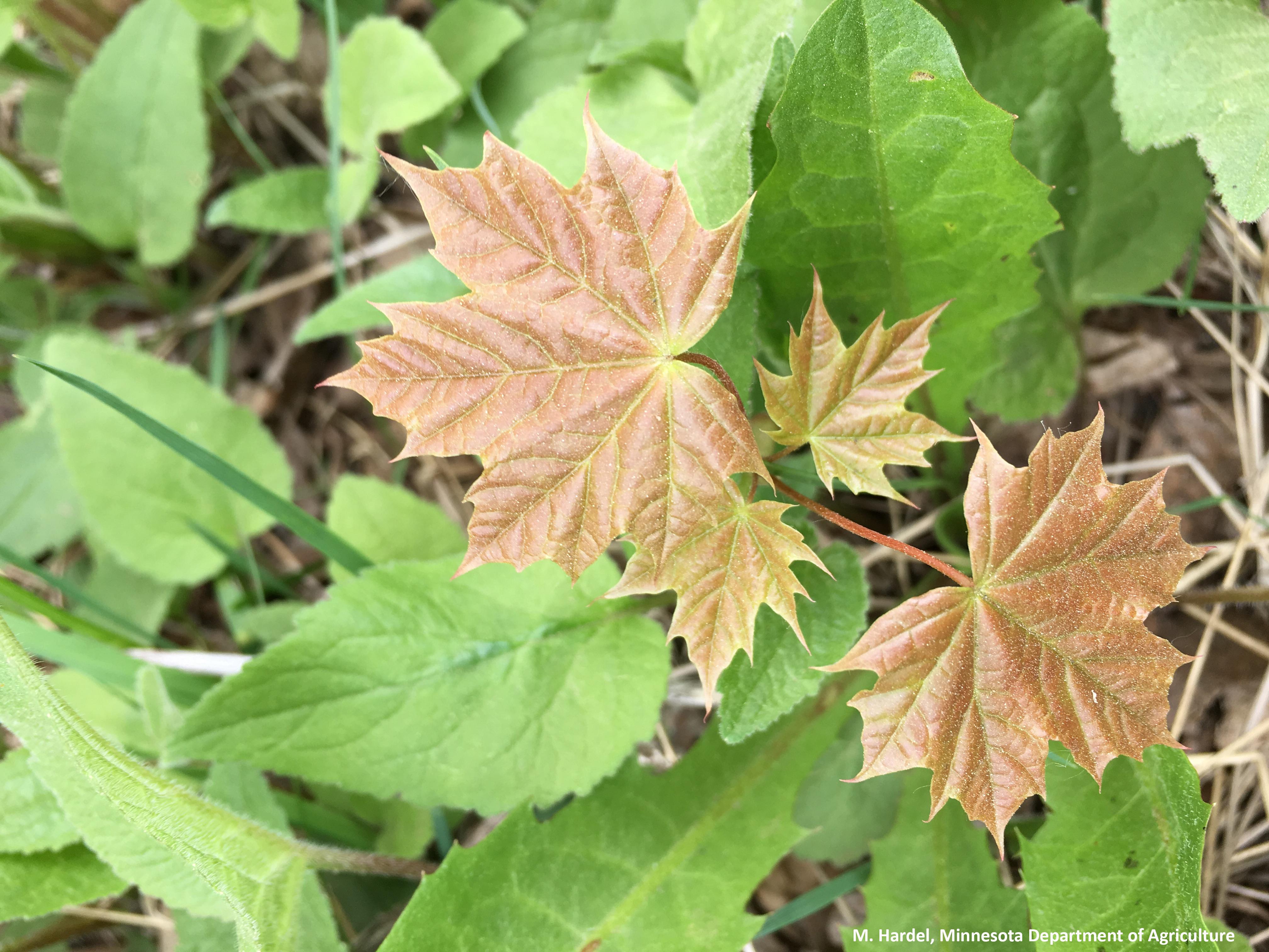 Afbeelding van een zaailing vermengd met andere overblijvende planten.