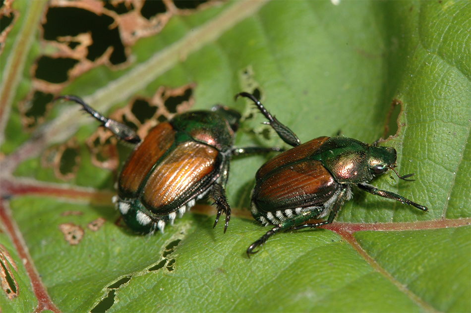Adult Japanese beetles. Photo by Jeff Hahn, University of Minnesota Extension.