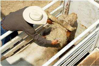 Cattle in handling chute