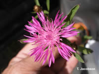 Meadow knapweed flower