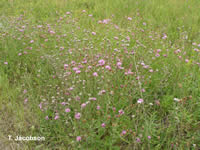 Mature meadow knapweed plants