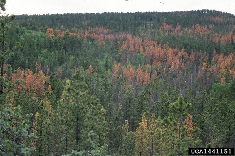 forest damaged by mountain pine beetle
