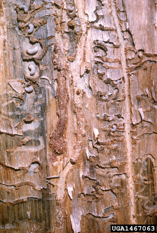 mountain pine beetle insect galleries