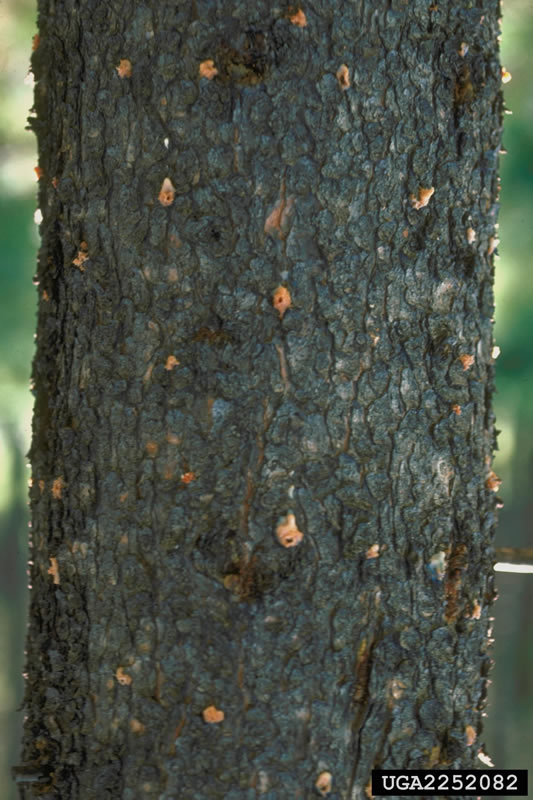 pitch tubes on pine tree infested by mountain pine beetle