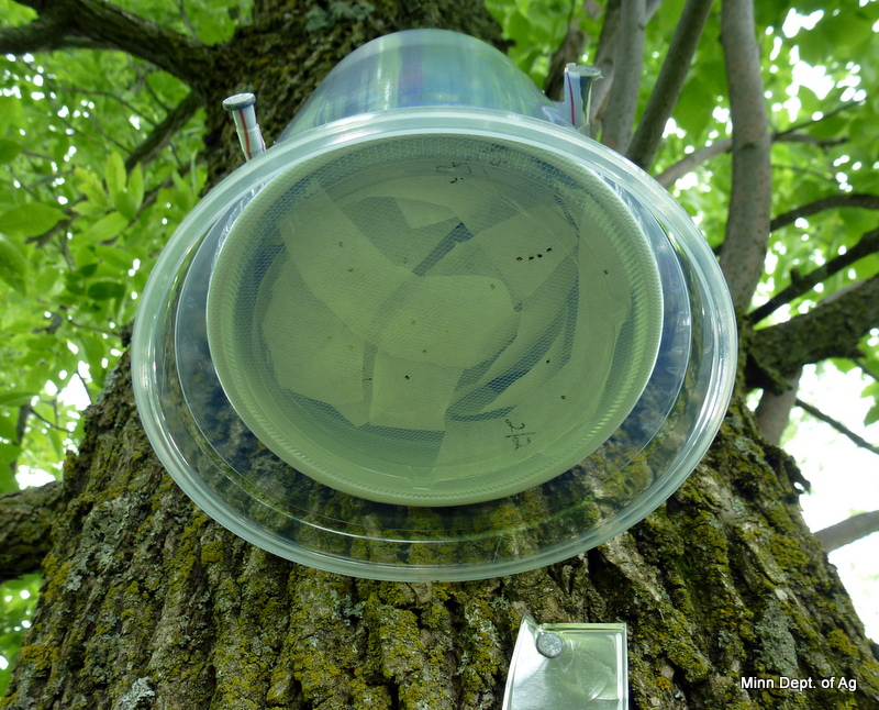Underside of the Oobius agrili release container that is attached to ash trees