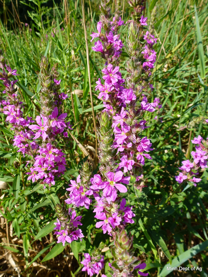 Purple loosestrife minnesota department of agriculture purple loosestrife flower plant mightylinksfo