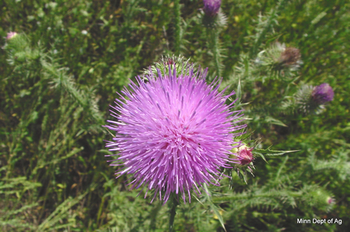 Plumeless thistle flower