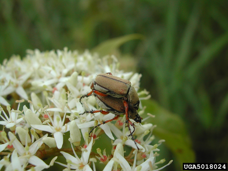 Rose chafers. Photo by Pennsylvania Department of Conservation and Natural Resources, Forestry Archive, bugwood.org