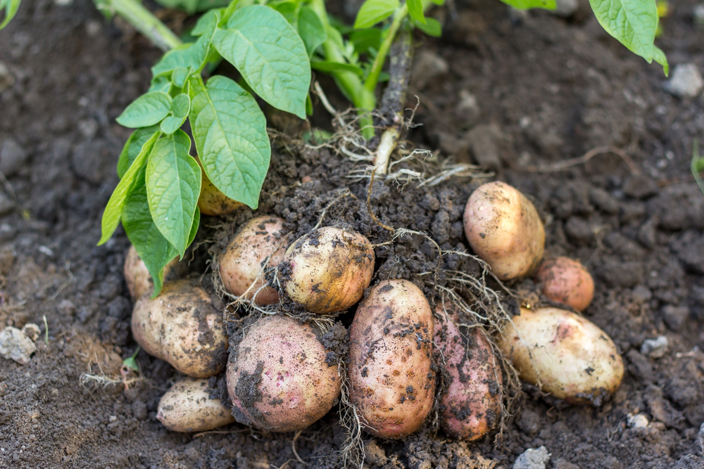 potato field vegetables with soil background
