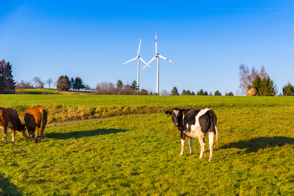 cows grazing with wind turbines in background