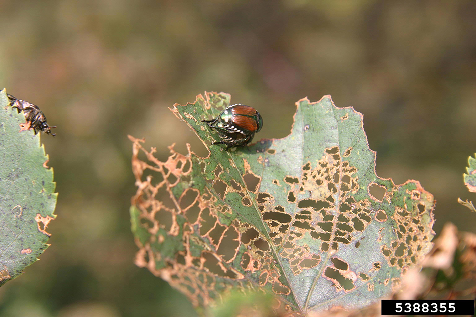 Japanese Beetle | Minnesota Department of Agriculture