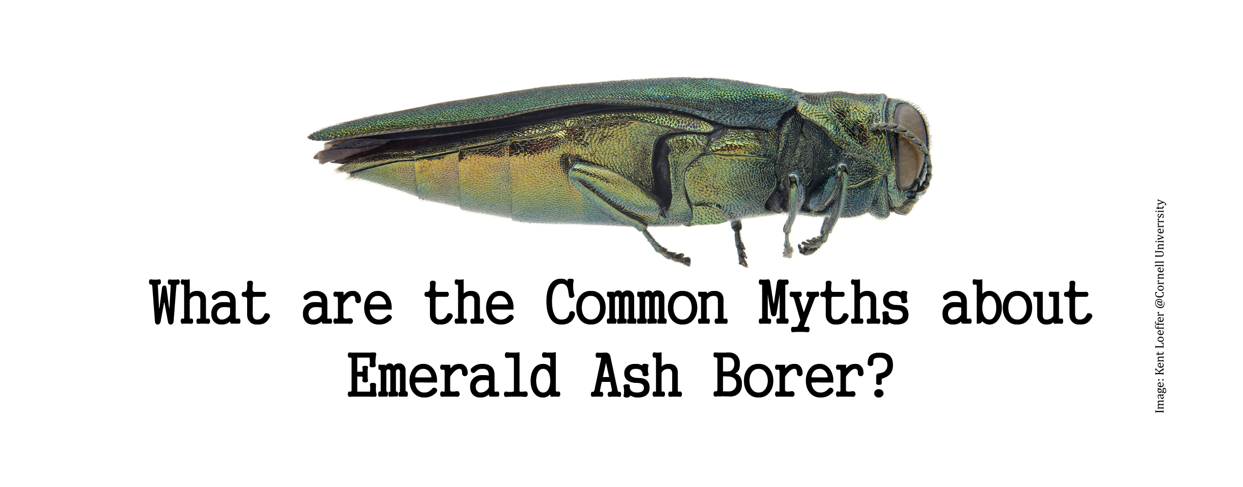 what are the common myths about emerald ash borer
