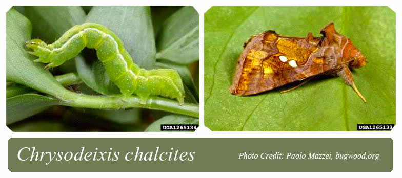 golden twin spot moth caterpillar on left and adult moth on righ