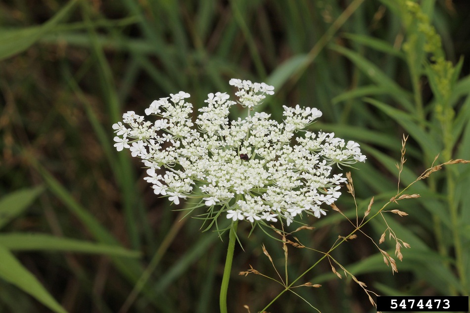 Wild carrot flower, photo by Rob Routledge, Sault College, Bugwood.org